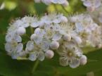 ナナカマドの花畑