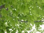 ブナの樹の下で雨宿り