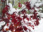 紅葉の雪化粧